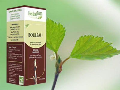 bouleau bourgeon macerat Betula sp