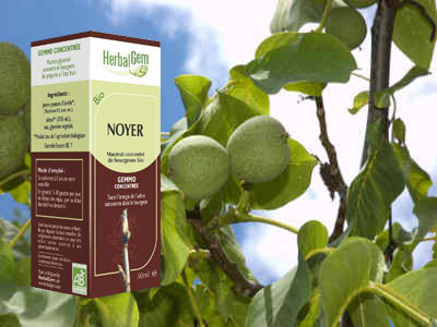 noyer bourgeon macerat Juglans regia bio