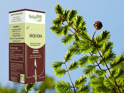 sequoia bourgeon macerat Sequoia Gigantea